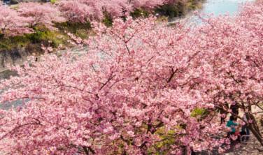 早春の河津桜と椿咲く伊豆大島の旅【5日間】