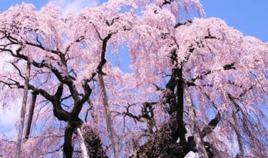 三春の滝桜と白石川の一目千本桜 福島・宮城 春景色【3日間】