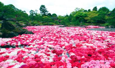 日本一の牡丹の産地大根島(だいこんしま)と倉敷の旅【4日間】