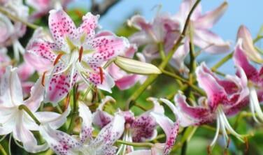 カノコユリ咲く鹿児島の秘島 麗しの甑島(こしきしま)周遊の旅 【4日間】