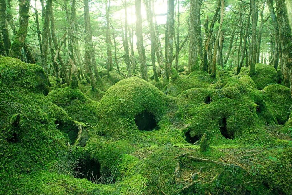 白駒池周辺の原生林 苔の森