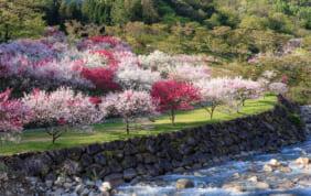 ミュンヘンがルーツ。阿智村の花桃(長野県・南信州)