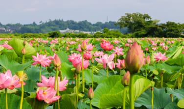 日本撮り旅 伊豆沼の蓮と世界遺産・平泉【3日間】