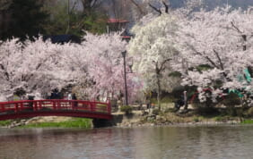 2つの名城と桜の町「高遠」上信越桜街道