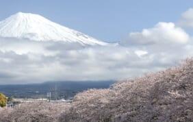 大井川鉄道SL列車と富士山麓の桜の旅