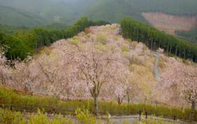 千本のしだれ桜 高見の郷 (奈良県東吉野村)