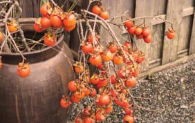 ならまちの柿寿賀