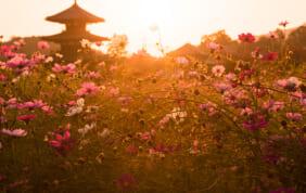 奈良 秋の花 コスモスの名所